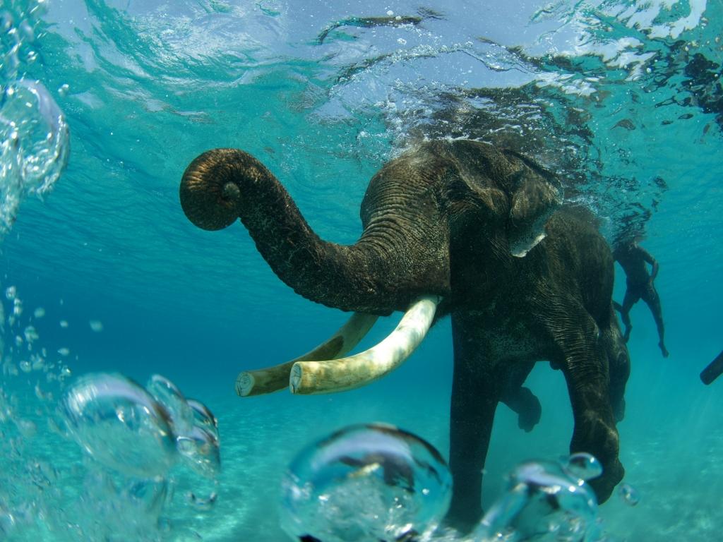 """常識が変わる旅アンダマン海で象と泳ぐ!! インドのアンダマン諸島<a href=""""http://play-the-earth.com/swim-with-elephant-in-india-2012/""""><br />…続きを読む</a>"""