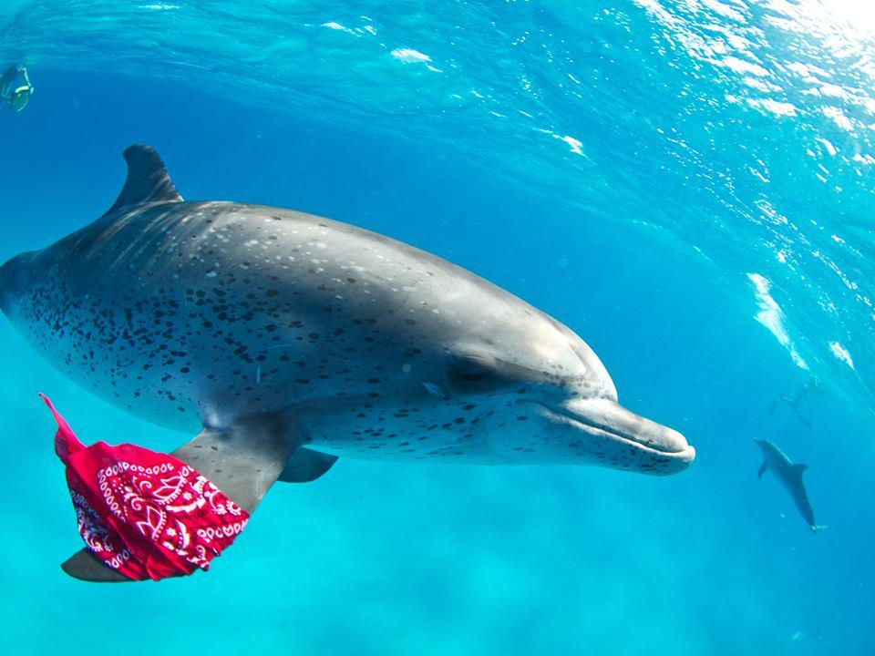 """12年目になるPlayTheEarthの """"バハマで野生のイルカ達と遊ぶ旅!"""" フロリ<a href=""""http://play-the-earth.com/dolphin-swim-bahamas2017/""""><br />…続きを読む</a>"""